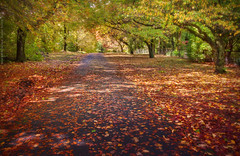 Queens Road || MT WILSON || BLUE MOUNTAINS (rhyspope) Tags: road street new blue autumn trees red orange pope mountains fall leaves yellow wales forest canon garden woods mt south australia mount wilson aussie avenue rhys 500d rhyspope