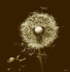 Dandelion (sarah.burns22) Tags: brown garden nikon yorkshire dandelion seeds