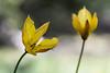 Tulipe Sauvage (Tulipa sylvestris) (sergegoujon) Tags: france rhônealpes treschenucreyers
