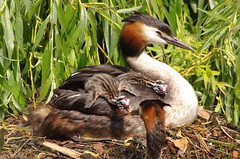 Stretching Out (Hugobian) Tags: park family green bird art nature birds animal fauna fantastic babies pentax wildlife great young chick valley lee british crested fishers grebe grebes