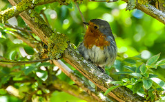 Young Robin (peterclayton2512) Tags: nature robin birds wildlife chicks fledgeling youngchicks