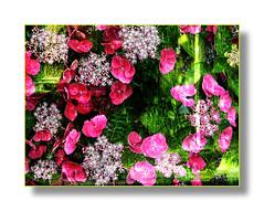 Offrir des couleurs comme des petits bonheurs. (Docaron) Tags: color colour fleur plante frame layer couleur cadre couches hortensia hautbois surimpression taupont dominiquecaron