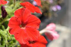20150623-DS7_4660.jpg (d3_plus) Tags: street plant flower macro nature bicycle japan cycling tokyo nikon scenery bokeh outdoor object fine daily bloom  streetphoto   tamron   dailyphoto   kawasaki  thesedays tamron90mm pottering     fineday         tamronmacro  tamronspaf90mmf28   tamronspaf90mmf28macro11 d700 172e kanagawapref  tamronspaf90mmf28macro nikond700 spaf90mmf28macro  spaf90mmf28macro11 nikonfxshowcase 172en