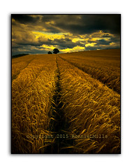 Golden Moment (RonnieLMills) Tags: golden hour barley field dark clouds trees tractor lines ballydrain autofocus county down northern ireland nikon d90 tamron 1024 wide angle landscape goldenmoment ronnielmills swingers
