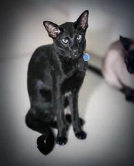 Hugo (DavidS_UK) Tags: england cute green girl animal female cat furry feline fuji tail flash siamese ears meow oriental meezer xt1