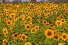 _MG_9811 () Tags: travel flowers trees red plant garden photography bokeh taiwan tunnel sunflower dslr      kapok       formosan numerous     flower  beautiful    canon5d2  farmland