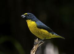 CAIS-CAIS (Euphonia chalybea) (Dario Sanches) Tags: brasil natureza ave av passaro registro valedoribeira caiscais euphoniachalybea