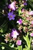 IMG_4521 (cheryl's pix) Tags: california berkeley botanicgarden botanicalgardens botanicalgarden botanicgardens berkeleyca berkeleybotanicalgarden ucbotanicalgarden universityofcaliforniabotanicalgarden universityofcaliforniabotanicalgardenatberkeley