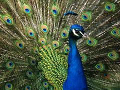 Proud Peacock (whitesepulchre) Tags: show blue green animal proud canon zoo fan feathers peacock pride off blau strut tier vogel pfau stolz neuwied federn sx50 canonpowershotsx50