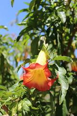 IMG_4607 (cheryl's pix) Tags: california flowers flower berkeley botanicgarden botanicalgardens botanicalgarden botanicgardens berkeleyca berkeleybotanicalgarden ucbotanicalgarden universityofcaliforniabotanicalgarden universityofcaliforniabotanicalgardenatberkeley