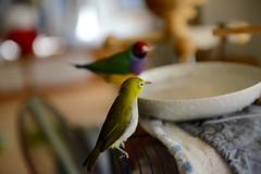 DSC_7901 (Jenny Yang) Tags: pet bird lady finch gouldian