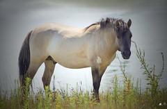 Koninks paarden (mia_moreau) Tags: water nederland natuur dier limburg paard paarden zuidlimburg natuurgebied konikpaarden oerpaard