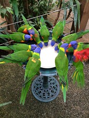 Photo of Rainbow Lorikeets at Colchester Zoo