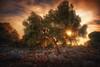 ancient (Chrisnaton) Tags: tree sun sunlight sunbeams nature mediterranean talaiotischesdorfvons'illot talayot talaiotvillage ancientplace