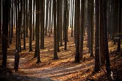 (jolizoli) Tags: canon 5d mark2 eos ef 135mm f2 l 135l jolizoli bükk erdő forest