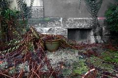 winterfern (erix!) Tags: farn fern winter vorgarten