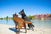 IMG_1986 (megscapturedtreasures) Tags: ammo sun sunset dog beach dogs ruff days daycare
