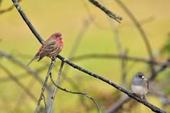 Just the two of us (CU TEO MD) Tags: bird wildlife thewildlife outdoor nature naturebynikon tamron150600mm nikon ngc twop soe artofimages simplysuperb branch bravo tree