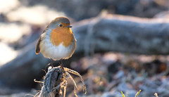 January Robin (cuppyuppycake) Tags: robin bird january winter cold frost freezing wildlife nature perched perch chunky chubby outdoor wanstead park london nikon d7200