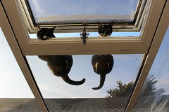 Cats Looking through window (arrancat) Tags: cat window pet animal home looking white feline windowsill snow kitten house cute fat domestic mammal outside cats out sitting young kitty view fur sweet eye fluffy sill eyes ears beautiful one relax color roof conservatory down