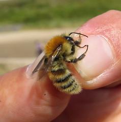 Bombus humilis male - Broadhaven Dunes, Pembrokeshire 2016a (Steven Falk) Tags: bombus humilis brownbanded carder bee apidae steven falk