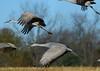 IMG_5845     g-2    (Explore #298) (george_gww) Tags: sandhill crane