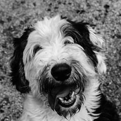 Remy17Dec1600005-Edit.jpg (fredstrobel) Tags: dogs pawsatanta phototype atlanta blackandwhite usa animals ga pets places pawsdogs decatur georgia unitedstates us