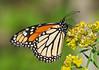 Monarch Butterfly (Danaus plexippus) (monon738) Tags: monarchbutterfly monarch butterfly butterflies danausplexippus danaus nymphalidae lepidoptera insect bug nature indiana macro pentax k5iis 300mm closeup wings wildlife allencounty cypressmeadownaturepreserve smcpda300mmf40edifsdm