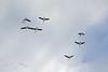 Thanks for flying straight above me (atranswe) Tags: dsc2890 sweden sverige västranorrland ångermanland väja latn62°5818lone17°427 clouds moln nature bluesky blåhimmel kanadagäss canadageese brantacanadensis birds fåglar outdoor ute atranswe
