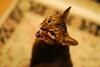 Happy new year everyone! (DizzieMizzieLizzie) Tags: abyssinian aby beautiful wonderful lizzie dizziemizzielizzie portrait a7ii cat chats feline gato gatto katt katze katzen kot meow mirrorless pisica sony blurry happynewyear