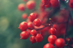 Nandina domestica (StefPhotography_) Tags: nandinadomestica red fruit bacche