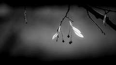 Black and white seeds (konstantin.radchenko) Tags: black bw white background plant dry seed isolated closeup natural organic nature corn dandelion spring season dark winds angelwings