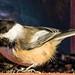 Chickadee in Mapleton Park