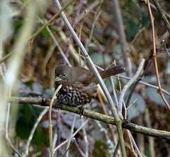"""Sooty"" Fox Sparrow--Passerella iliaca (Polioptila caerulea) Tags: sootyfoxsparrow sparrow passerellailiaca passerella baileyrd fortdick delnortecounty california fosp"