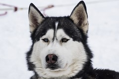 Snowdog (• Julien Laroche) Tags: chien dog husky race neige froid traineau snow couleur blanc white color animal animaux animals jlaphotographie colombier seyssel ain fetedelaneige grandcolombier oeil eyes yeux huskies huskie