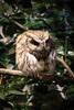 20161231-IMG_5080 (stringer8247) Tags: owl forest harajuku tokyo japan