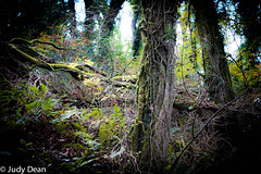 Coppice (judy dean) Tags: judydean sonya6000 forest woodland trees fallen natural