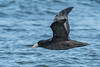 Southern Giant Petrel (Tim Melling) Tags: macronectes giganteus southern giant petrel chile timmelling