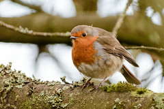 Carr Mill Robin (1 of 1) (g8196895) Tags: robin carrmill nature birds outdoors wildlife bokeh