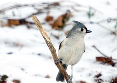 Tufted Titmouse (--Anne--) Tags: tufted titmouse bird birds nature wildlife animals winter snow