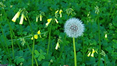 My Whitness (}{enry) Tags: green clover dandelion officinale taraxacum