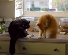 Batman and Jimmy, the fluffy boys (rootcrop54) Tags: batman longhair tuxedo male cat jimmy orange longhaired kitchen counter grooming macska kedi 猫 kočka kissa γάτα köttur kucing gatto 고양이 kaķis katė katt katzen kot кошка mačka maček kitteh chat ネコ cc1000 cc7000
