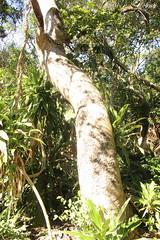Trichilia dregeana - Bosrooiessenhout - St Lucia - Zuid-Afrika 1 (Ruud de Block) Tags: southafrica ruuddeblock meliaceae taxonomy:binominal=trichiliadregeana trichiliadregeana bosrooiessenhout stluciaestuarium