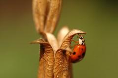 (Red 'N Spots) Tags: macro animal animals insect nikon bokeh ladybird ladybug tamron macrophotography