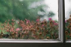 Window Flowers (Paul_Munford) Tags: flowers film analog 35mm 50mm grey minolta minoltax700 grain 17 fujifilm superiaxtra400 windowrain