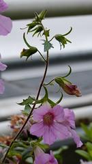 Rehmannia elata (Orobanchaceae) (Ruissalo Botanic Garden, Turku, 20150418) (RainoL) Tags: pink flowers plants plant flower finland geotagged turku clr indoors greenhouse april fin botanicalgarden ruissalo 2015 orobanchaceae rehmannia ruissalonkasvitieteellinenpuutarha varsinaissuomi 201504 rehmanniaelata ruissalobotanicgarden 20150418 geo:lat=6043321038 geo:lon=2217371463