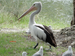 Pelican at Budgewoi (pat.bluey) Tags: birds australia pelican newsouthwales 1001nights budgewoi spiritofphotography 1001nightsmagiccity