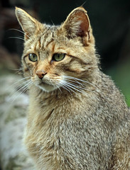 europese wilde kat duisburg JN6A0805 (j.a.kok) Tags: wildcat duisburg wildekat felissilvestrissilvestris europesewildekat europeanwildcat