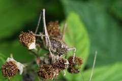 Cricket (mgrimm82) Tags: germany saxony juli orthoptera 2015 ammelshain
