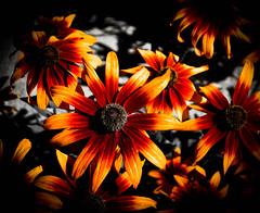 Burnt orange (judy dean) Tags: orange garden daisy 2015 judydean sonya6000